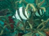 Banded butterflyfish Pilot Ship Wreck, Oranjestad, Aruba, © 2016 Bob Hahn, Olympus OMD/E-M1 OLYMPUS M.12-40mm F2.8 at 40 mm, ISO: ISO 200 Exposure: 1/125@f/5