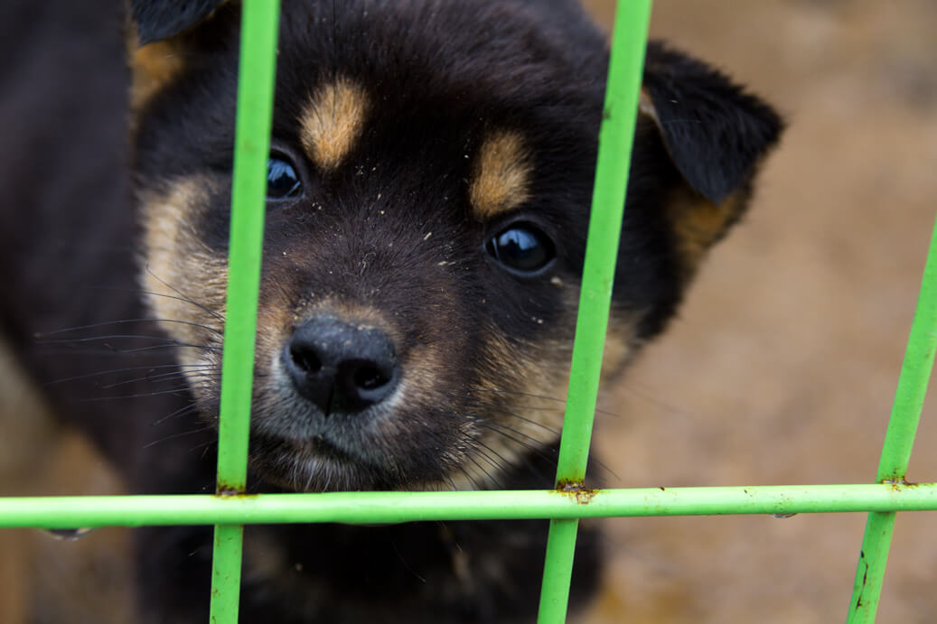 Black and Brown Jindo Puppy