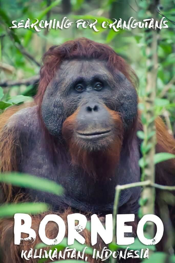 Finding Orangutans in Borneo Jungle