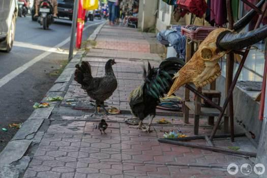 Running a fowl in Ubud.