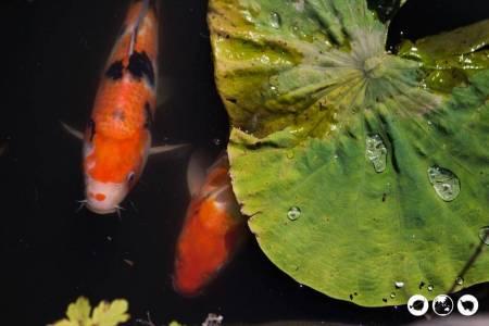 Koi-Pond-and-Lily-Pad