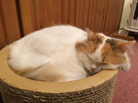 sleepy-cat-at-japan-cat-cafe