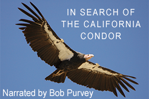 """In Search of the California Condor,"" Narration by Bob Purvey"