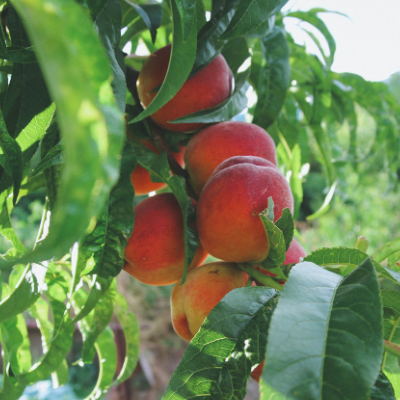 bonanza dwarf patio peach tree