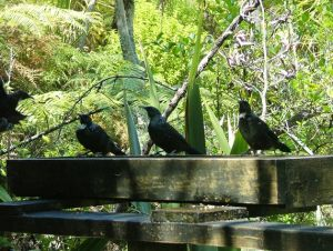 Three Tuis 01