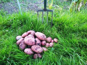 hardship-poverty-potato