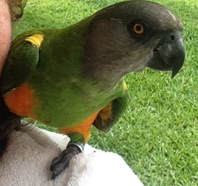 Benny the parrot