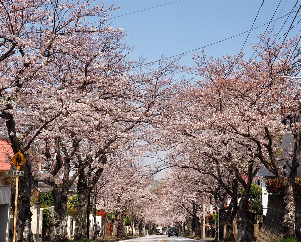鷹取 桜並木