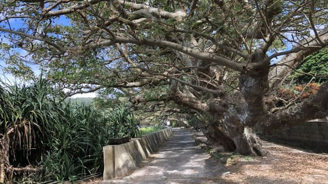 加計呂麻島 諸鈍長浜 デイゴ並木