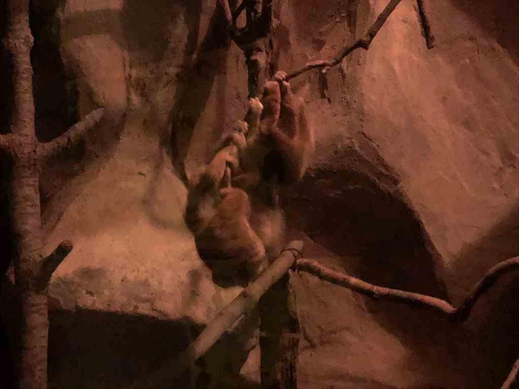 札幌円山動物園スローロリス