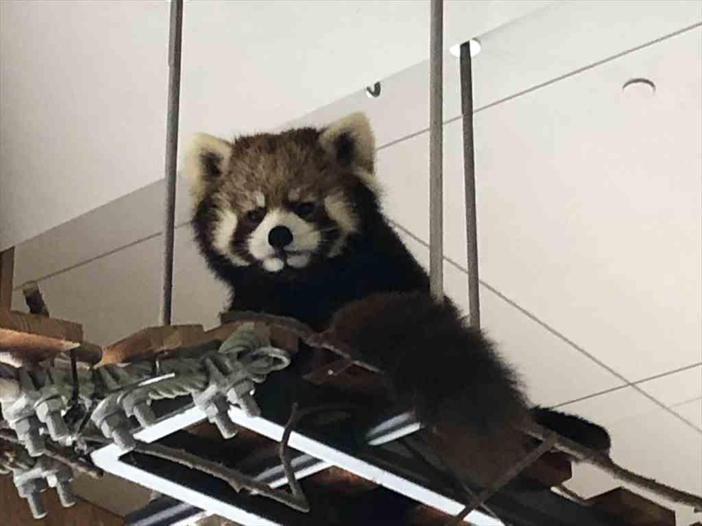 札幌円山動物園レッサーパンダ