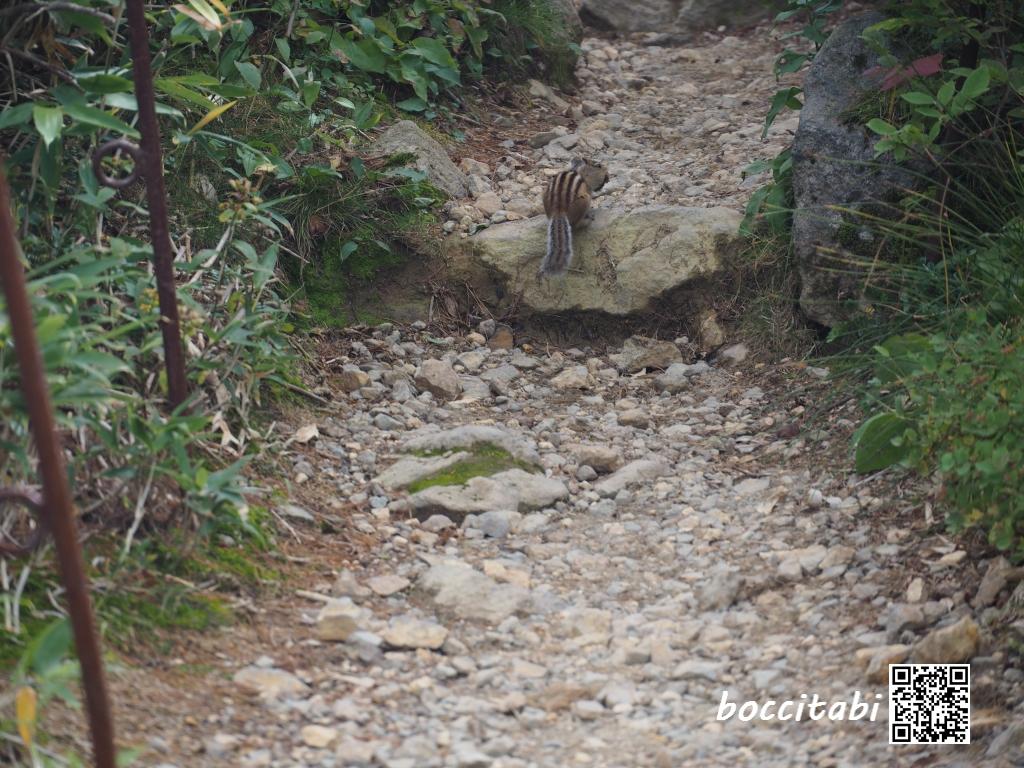 大雪山旭岳姿見の池自然探勝路エゾリス