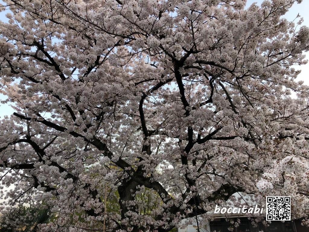 弘明寺駅近くの大きな桜