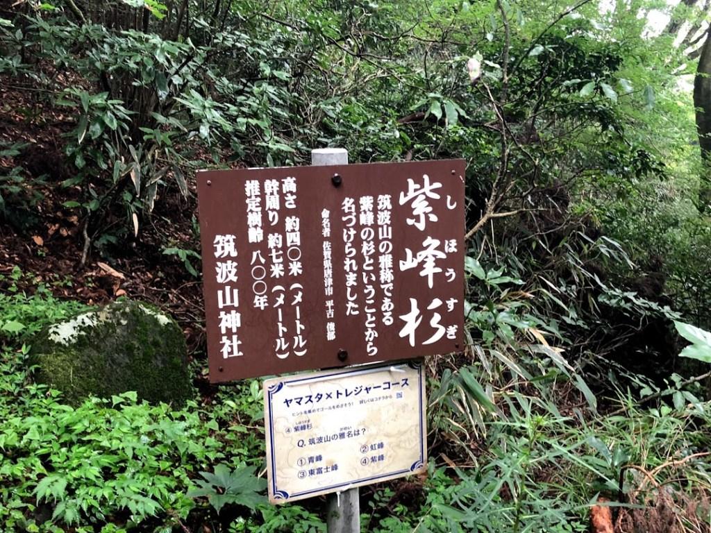 筑波山御幸ヶ原紫峰杉樹齢800年