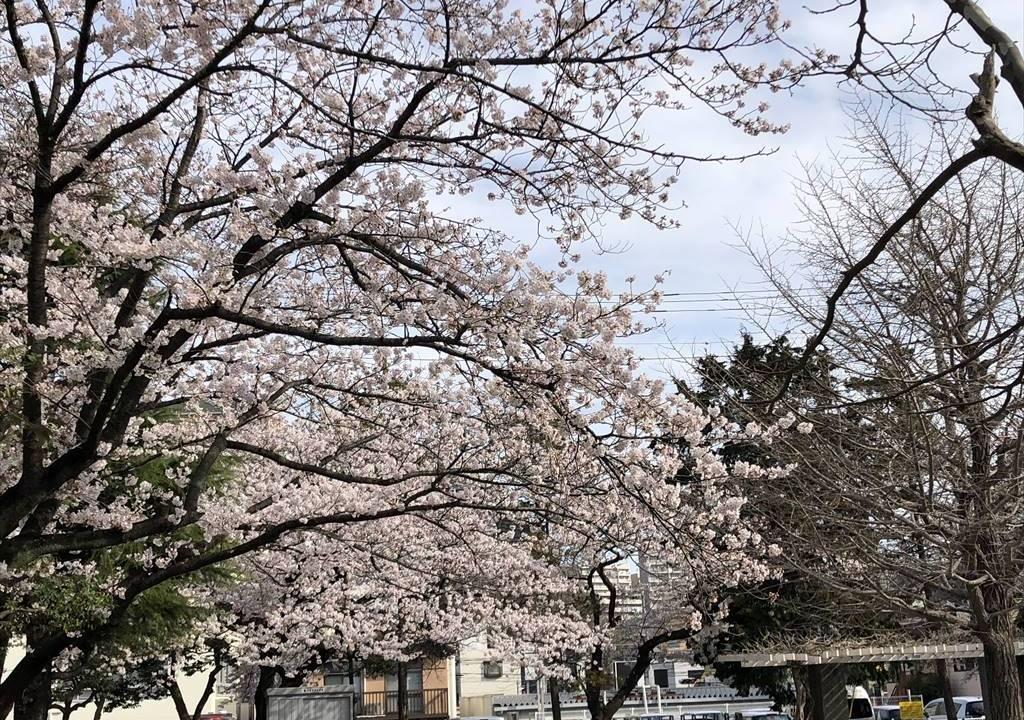 藤沢若尾山公園の桜