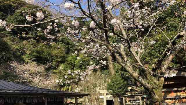 銭洗弁財天宇賀福神社の桜