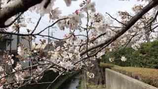 大船砂押川プロムナードの桜