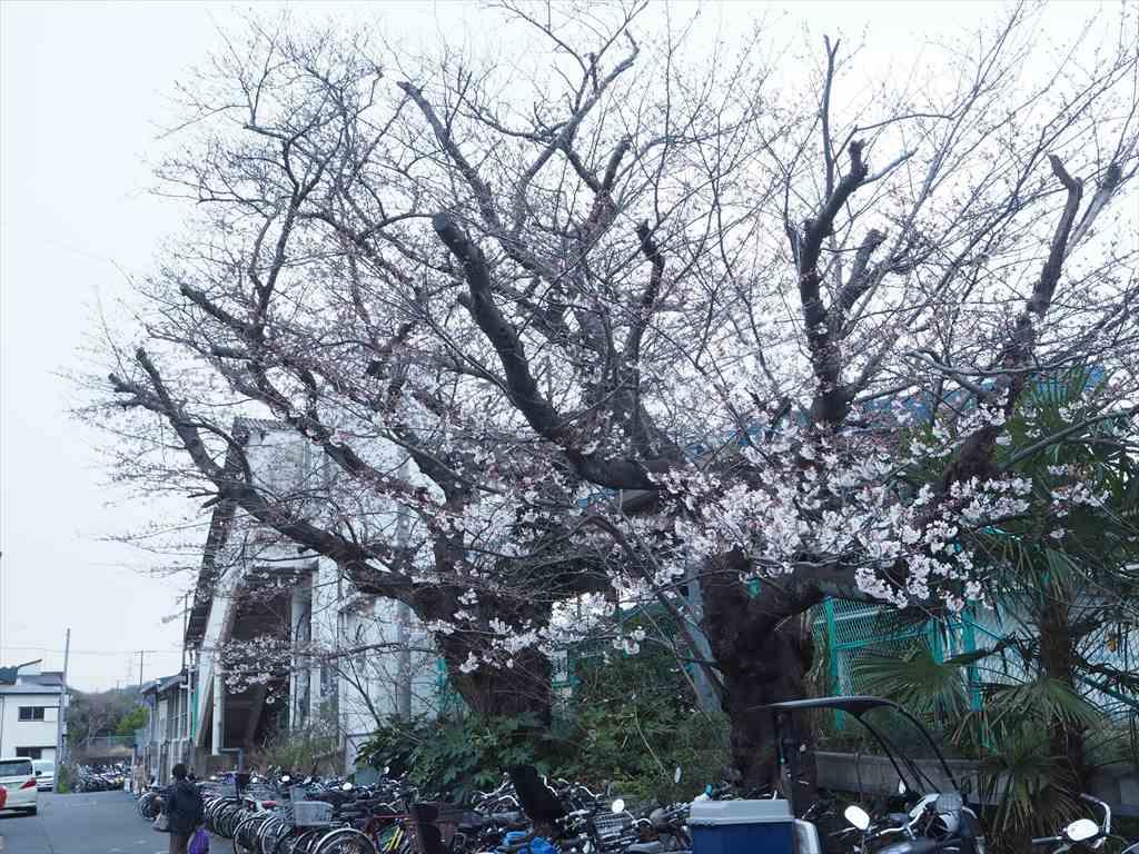 東逗子駅の桜