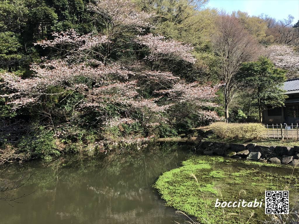 鎌倉中央公園の池の桜