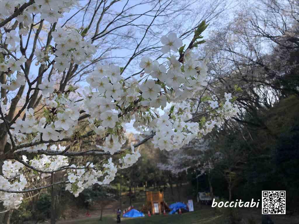 鎌倉中央公園の白い桜