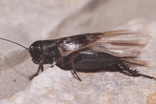 Cırcır Böceği, Türleri ve Özellikleri - bocek.gen.tr