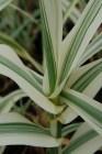 Arundo (Intrinsic Garden Perennials)