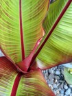 Ensete (Loree Bohl)