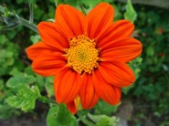 Tithonia Torch