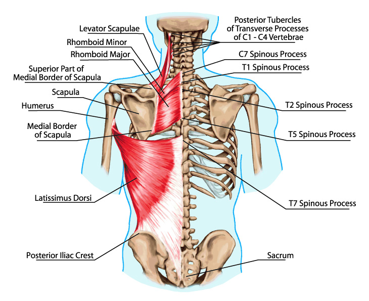 "ALT=""levator scapulae"" ALT=""hurts between shoulders"""