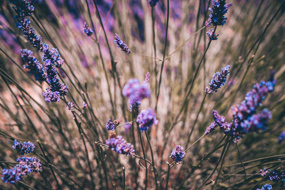 champs de lavande lavande luberon provence lavender bodyandfly travel blog