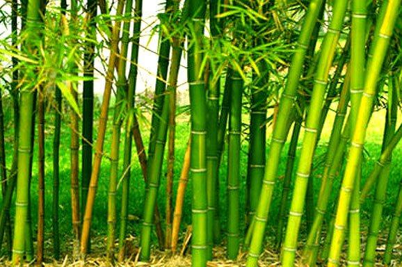 bamboo trees bodyandsoulnourishmentblog