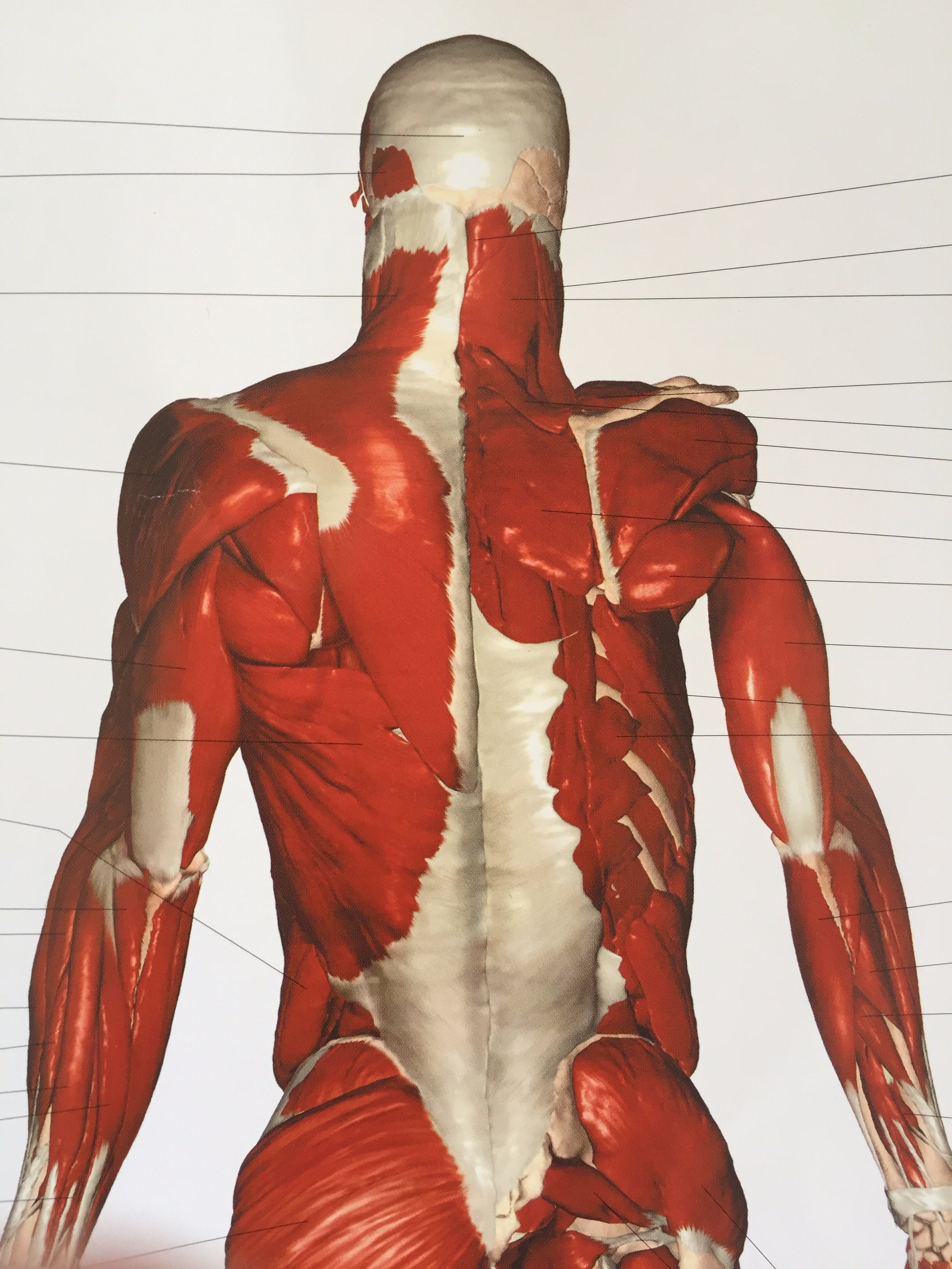 Courtesy of  cwall chart human anatomy   by thomas mccracken and martin griffiths also posture why is it so important  body awareness with jill roth rh bodyawarenesscoach