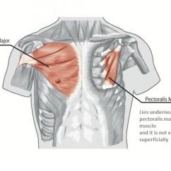 Rib Cage Bone Diagram Trane Xr13 Air Conditioner Wiring Chest Muscles Anatomy • Bodybuilding Wizard