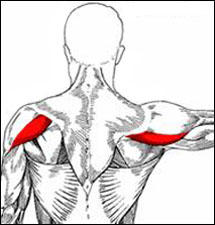 Posterior Deltoid: Functional Anatomy Guide • Bodybuilding