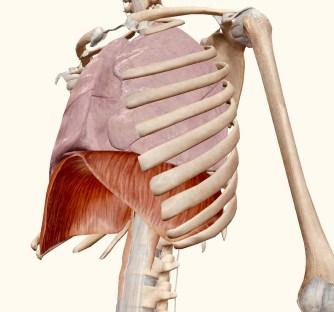 Visste du att en av våra stressmuskler är diafragman? Om inte, har du har säkert ändå känt det någon gång, när vi blir stressade spänns magen och vi andas bara ytligt högre upp i bröstet. Detta för att stress är lika med hot, och i övre delen av bålen är vi mer skyddade av revbenen, […]