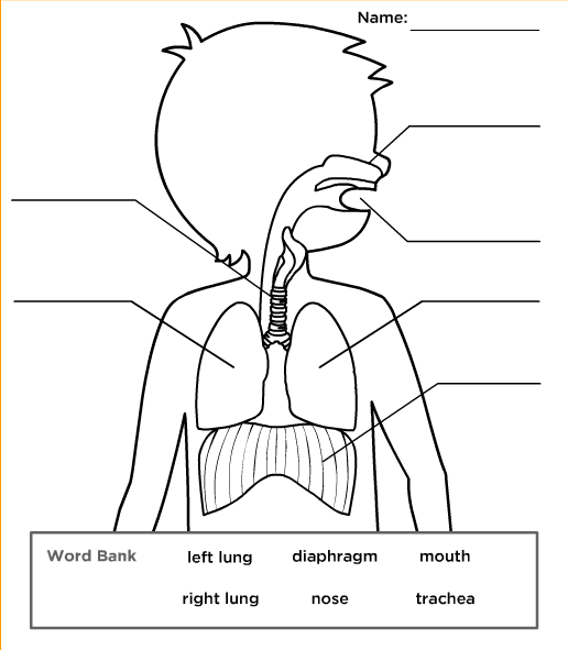 Lung Worksheet. respiratory system human body. lung