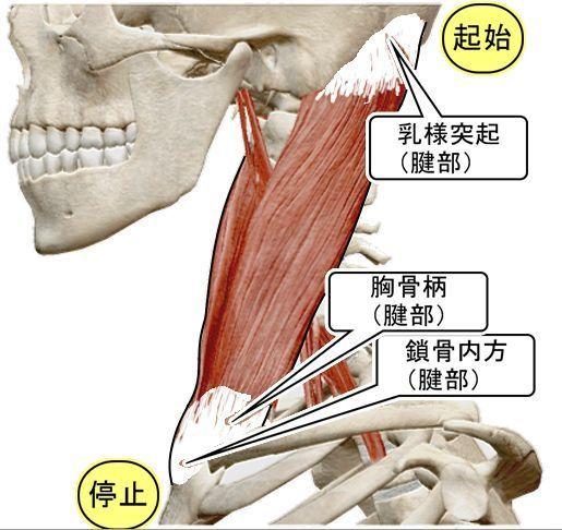 【 筋肉 】の<起始><停止>の腱部に觸れると,自動的に筋肉が緩みだすんです。それをさらにスモール ...