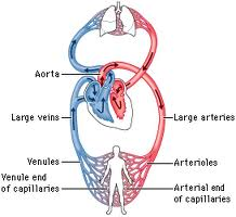 cardiovascular-system