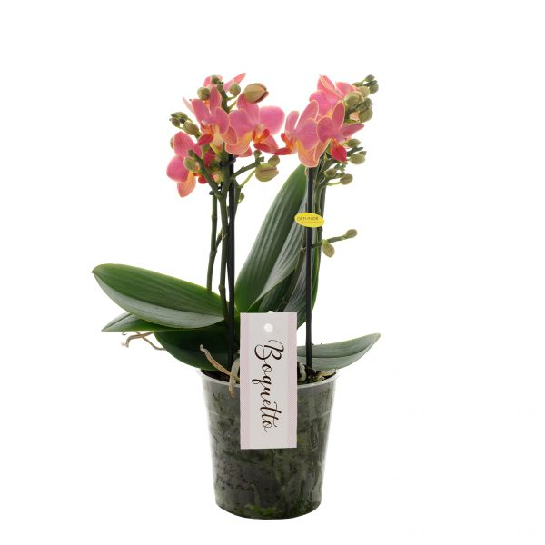 Orchidee Phalaenopsis Boquetto Charme