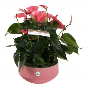 Plant Anthurium Pink in sierpot