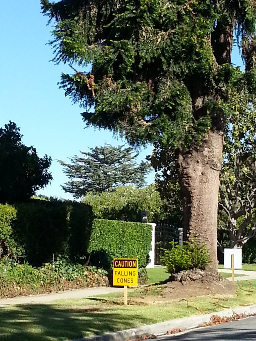 """Photo of large pine tree with an inordinately large caution sign next to it stating """"Caution: Falling Cones."""""""