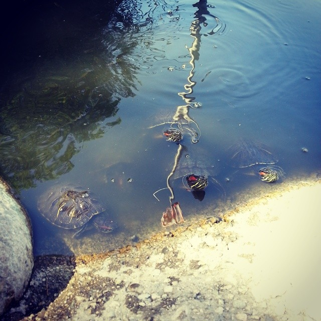 Turtle invasion