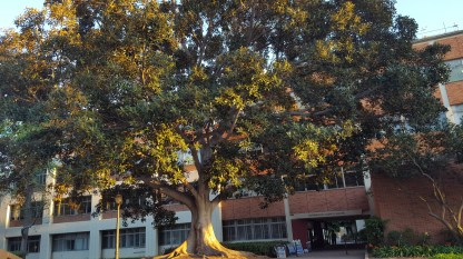 The tree outside Checkin UCLA Mathematical Sciences Building