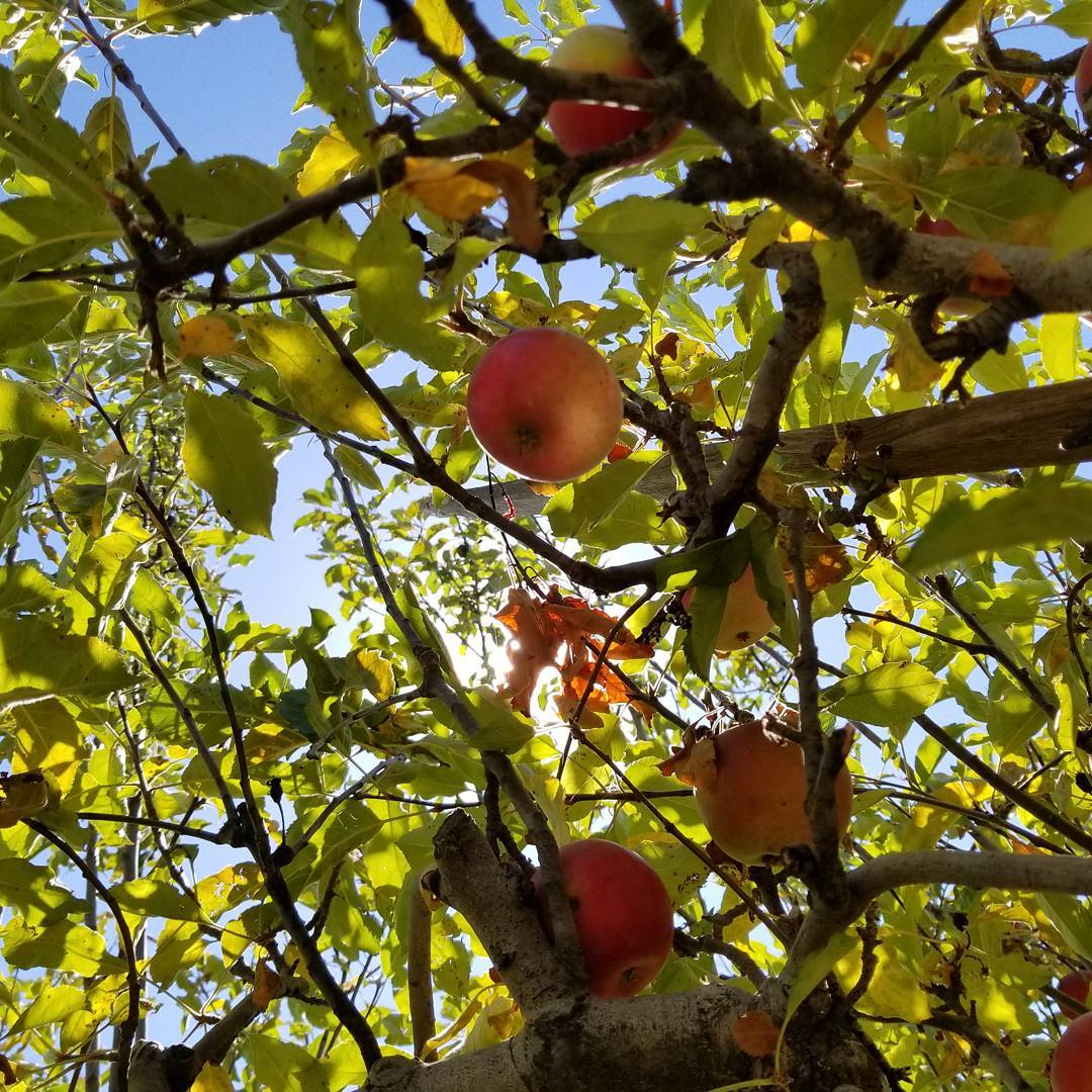 If it's the first weekend in October, it's time for apples! 