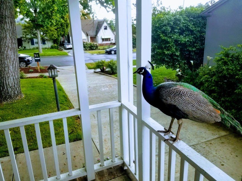 Peacock sitting on my front porch railing.