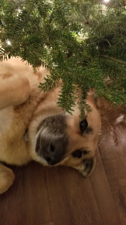 German shepherd Lily poses underneath the Christmas tree.