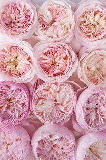 pink-garden-rose
