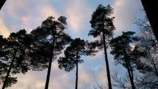 Anagach trees in silhouette