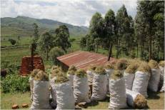 Bags of harvested papyrus
