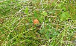 A cloudberry growing on a Scottish bog. Image credit: Richard Webb via Wikimendia Commons
